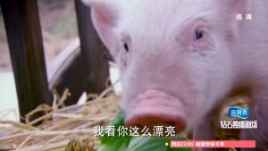 mister pig